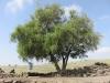 Tree at Korazin