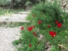 Red poppies along the path