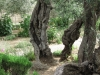 Miracle of the olive trees